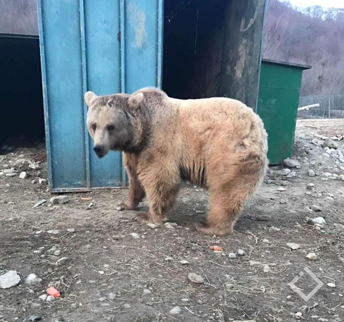 მოხეტიალე ცირკის თანამშრომლებმა დათვი დაატყვევეს - გარემოს დაცვა